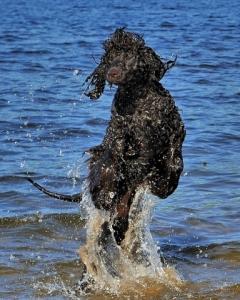 portugisisk vannhund allergi